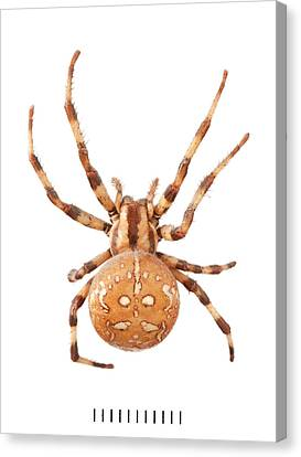 Orb Web Spider Canvas Print by Natural History Museum, London