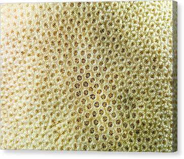 Orbicella Annularis Canvas Print by Natural History Museum, London