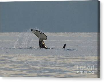 Canvas Print featuring the photograph Orca At Sunset by Gayle Swigart
