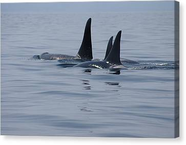 Canvas Print featuring the photograph Orca Family by Marilyn Wilson