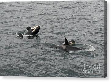 Canvas Print featuring the photograph Orca Mamas In The Wild - Together Forever by Gayle Swigart