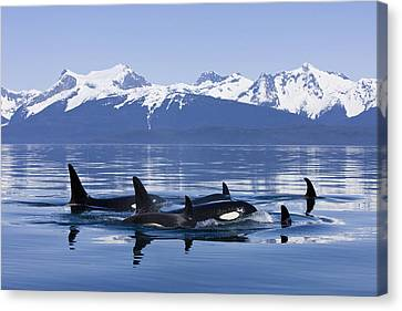 Orca Surface In Lynn Canal Near Juneau Canvas Print by John Hyde