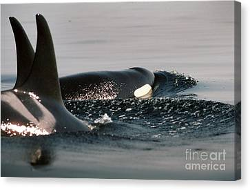 Canvas Print featuring the photograph Orcas/killer Whales Off The San Juan Islands 1986 by California Views Mr Pat Hathaway Archives