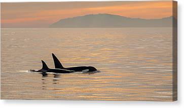Orcas Off The California Coast Canvas Print