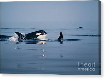 Canvas Print featuring the photograph Orcas Off The San Juan Islands Washington  1986 by California Views Mr Pat Hathaway Archives