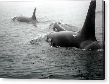 Orcas Canvas Print by Susan Woodward
