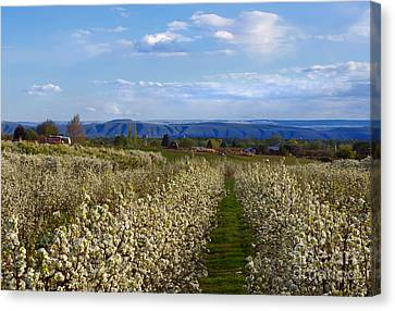 Orchard Country Spring Canvas Print by Mike  Dawson