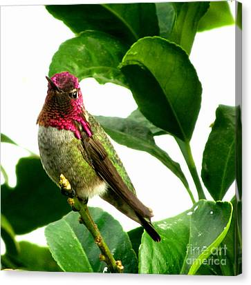 Male Hummingbird Canvas Print - Orchard Friend by Marilyn Smith