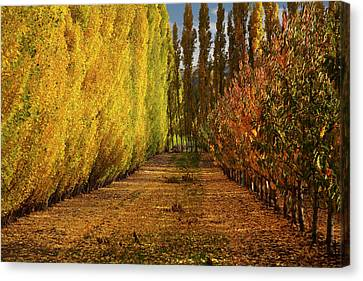 Orchard In Autumn, Ripponvale Canvas Print by David Wall
