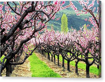 Orchard In Blossom Canvas Print by Don Mann