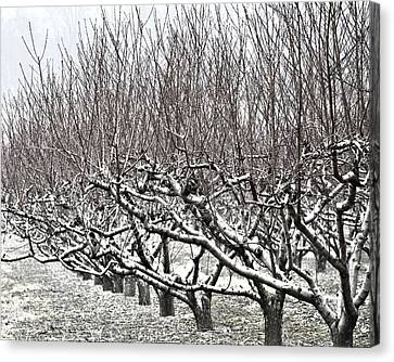 Orchard In Winter Canvas Print by John Feiser