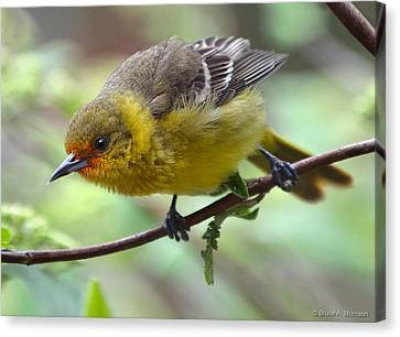 Orchard Oriole Female Canvas Print by Bruce Morrison