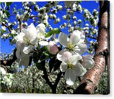 Orchard Ovation Canvas Print