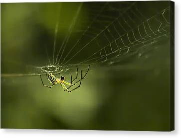 Orchard Spider On Billy Goat Trail Canvas Print by Francis Sullivan