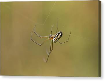 Canvas Print featuring the photograph Orchard Spider by Greg Allore
