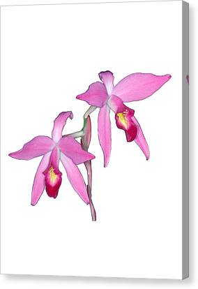 Orchid 1-1 Canvas Print by Andy Shomock