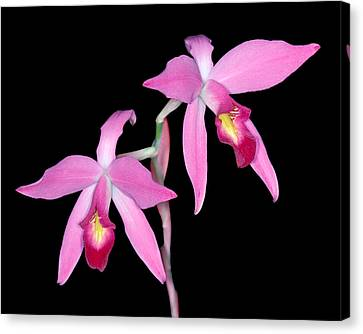 Orchid 1 Canvas Print by Andy Shomock