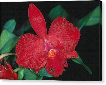 Orchid 12 Canvas Print by Andy Shomock
