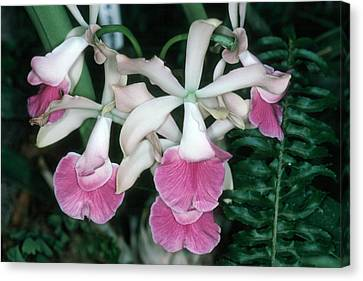 Orchid 17 Canvas Print by Andy Shomock