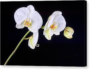 Orchid 2a Canvas Print by Mauro Celotti