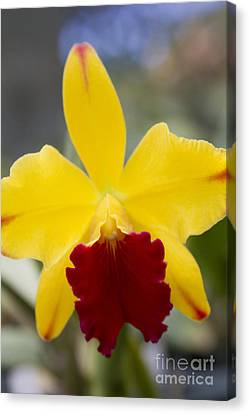 Orchid Beauty - Cattleya - Pot Little Toshie Mini Flares Mericlone Hawaii Canvas Print by Sharon Mau