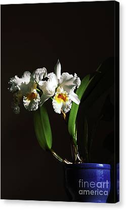 Orchid Cattleya Bow Bells Canvas Print by Charline Xia