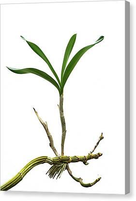 Orchid (dendrobium Sp.) Daughter Plant Canvas Print by Cordelia Molloy