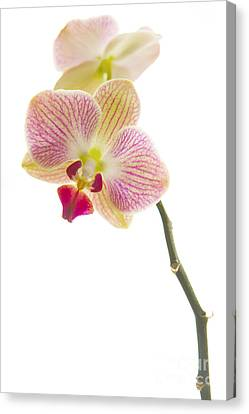 Orchid Canvas Print by Diane Diederich