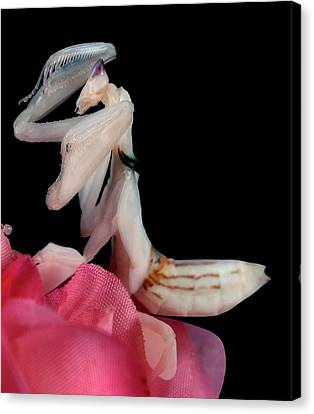Orchid Female Mantis  Hymenopus Coronatus  5 Of 10 Canvas Print by Leslie Crotty