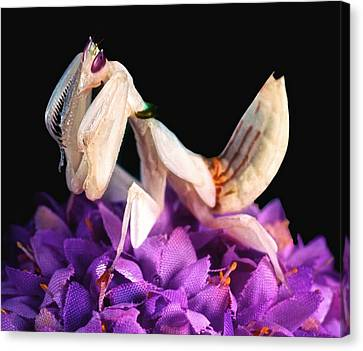 Orchid Female Mantis  Hymenopus Coronatus  7 Of 10 Canvas Print by Leslie Crotty