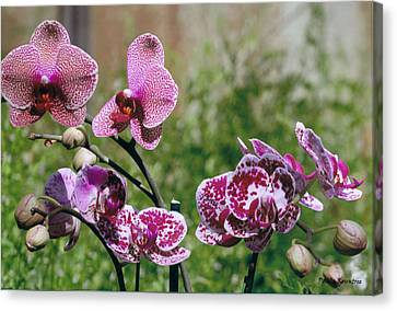Orchid Field Canvas Print by Paula Rountree Bischoff