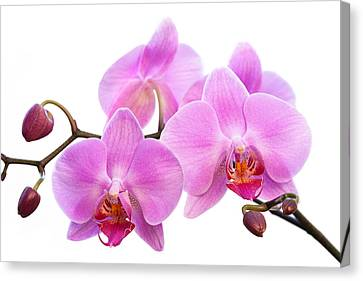 Orchid Flowers II - Pink Canvas Print by Natalie Kinnear