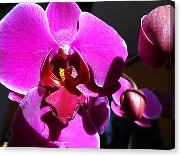 Orchid From My Valentine 3 Canvas Print