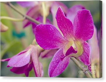 Golden Pink Orchid Canvas Print - Orchid - Haliimaile Spring Pink by Sharon Mau