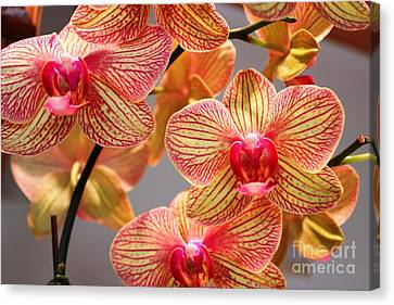 Orchid Canvas Print by Judy Palkimas