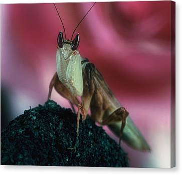 Orchid Male Mantis  Hymenopus Coronatus  Portrait  2 Of 9 Canvas Print by Leslie Crotty