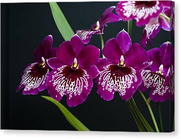 Canvas Print featuring the photograph Orchid Miltonia by Lana Enderle