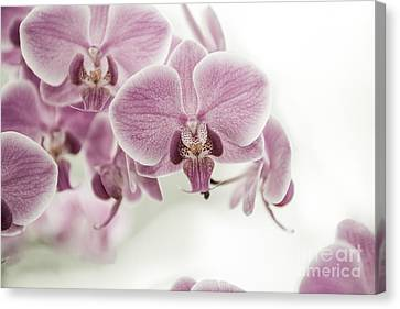 Orchid Pink Vintage Canvas Print by Hannes Cmarits