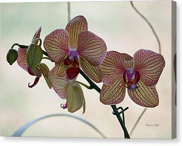 Orchid Series Canvas Print by Suzanne Gaff