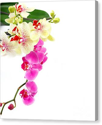 Golden Pink Orchid Canvas Print - Orchids by Boon Mee