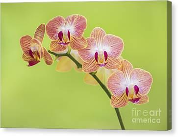 Orchids Canvas Print by Diane Diederich