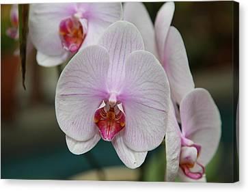Orchids - Us Botanic Garden - 011312 Canvas Print by DC Photographer
