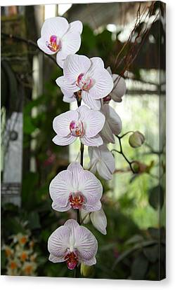 Orchids - Us Botanic Garden - 011334 Canvas Print by DC Photographer