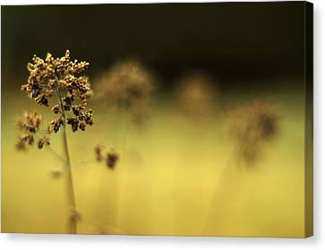 Canvas Print featuring the photograph Oregano Winter Warmth by Rebecca Sherman