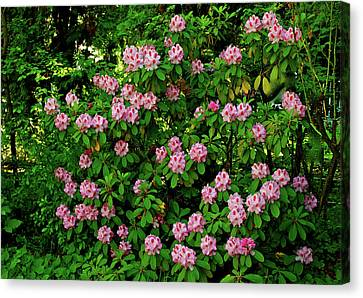 Oregon Azaleas Canvas Print by Ed  Riche