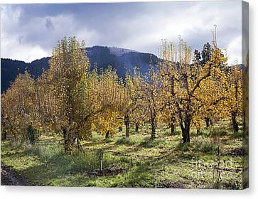 Oregon Orchard Canvas Print by Peter French