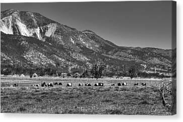 Oreo Cows 2 Canvas Print by Donna Kennedy