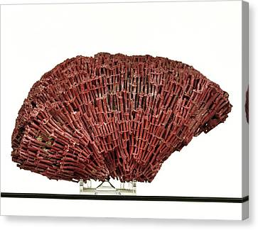 Organ Pipe Coral Specimen Canvas Print by Ucl, Grant Museum Of Zoology