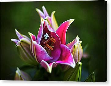 Oriental Day Lily Canvas Print