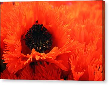 Oriental Poppy Canvas Print
